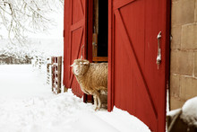 Sheep Peeking Out Barn Door