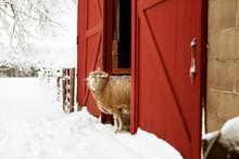 Sheep Peeking Out Barn Door