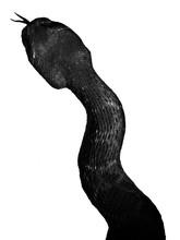"Snake Hissing On White Background Style: ""Portrait B&W"""