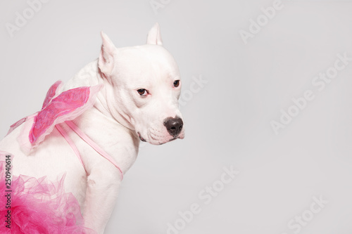 Portrait of white staffordshire bull terrier wearing butterfly wings and pink tutu dress sitting in front of white background Fototapete