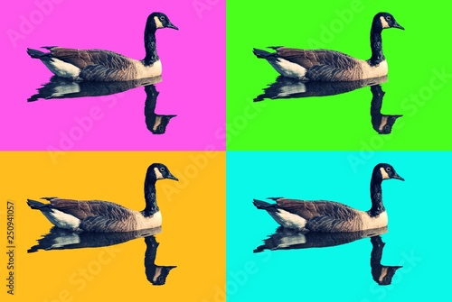 Fotografie, Obraz  Andy Warhol like photo, with photo of Canadian Geese floating in water with four