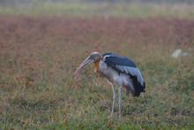 Greater Adjutant, Beautiful Bird In Thailand.