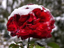 Red Rose With Water Drops And Snow