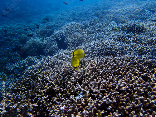 Two Bright Yellow Raccon Tropical Butterflyfish over Coral Reef in Blue Ocean