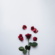 Studio Shot Of Red Rose With P...