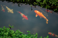 Colourful Charming Koi Carp Fishes Moving In Pond With Shadow And Light Reflection, Carp Fishes Swims Under Water Surface.