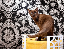 Burmese Cat On Chair Looking A...
