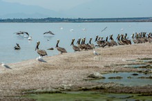 Pelicans Along Shore At Salton Sea