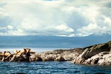 Sea Lions Sunbathing Tofino, Canada. Pacific Rim National Park