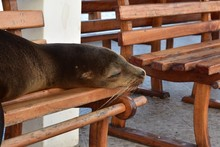 Sea Lion Sleeping On A Bench