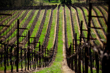 View Along Row Of Hillside Vineyard With Bare Grapevines