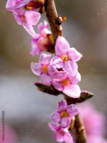 Obraz na płótnie Kwitnący Wawrzynek wilczełyko (Daphne mezereum L