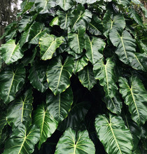 Plant With Big Green Leaves