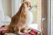 Little Red Tibetan Spaniel Dog Sit On A Window And Waiting His Owner, Pets Concept