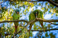 Wild Parakeets Aratinga Acutic...