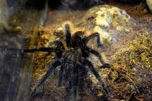 Tiger Spider Tarantula