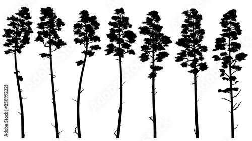 Obraz Silhouettes of tall pine trees with bare trunk (cedar). - fototapety do salonu