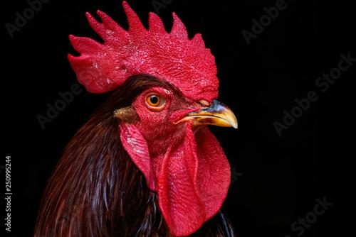 Obraz na plátně Rooster Black Background