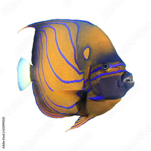 Photo Bluering Angelfish tropical fish isolated on white background
