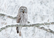Great Grey Owl Perched In A Tr...