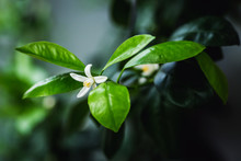 Closeup Photo Flowering Branch Of Calamondin.