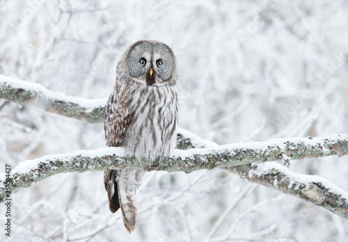 Fotobehang Uil Great Grey Owl perched in a tree in winter