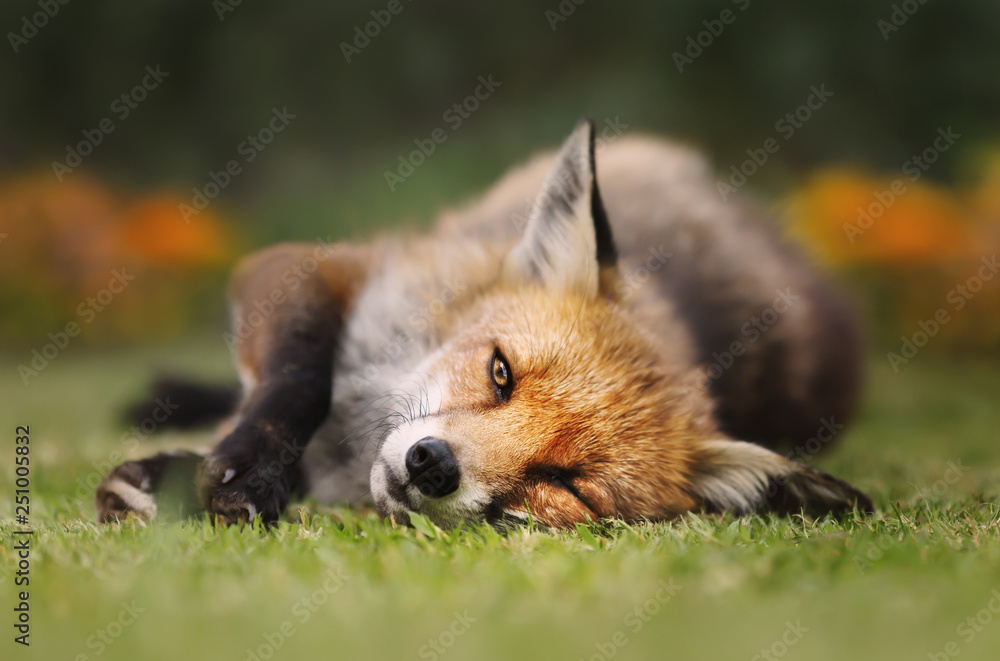 Fototapety, obrazy: Close up of a Red fox lying on the grass