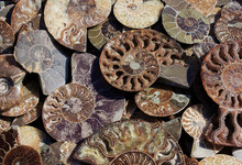 Died-out Cephalopoda Mollusks. Background Of Fossil Ammonites. Polished Half Of Petrified Shells As Souvenirs, Gift. Different Ammonoidea Varieties.