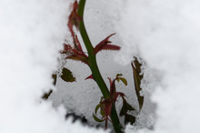 Rose Bush Covered With Snow