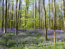 Seasonal Purple-blue Carpet Of Flowering Bluebells Wild Hyacinths In Spring Forest