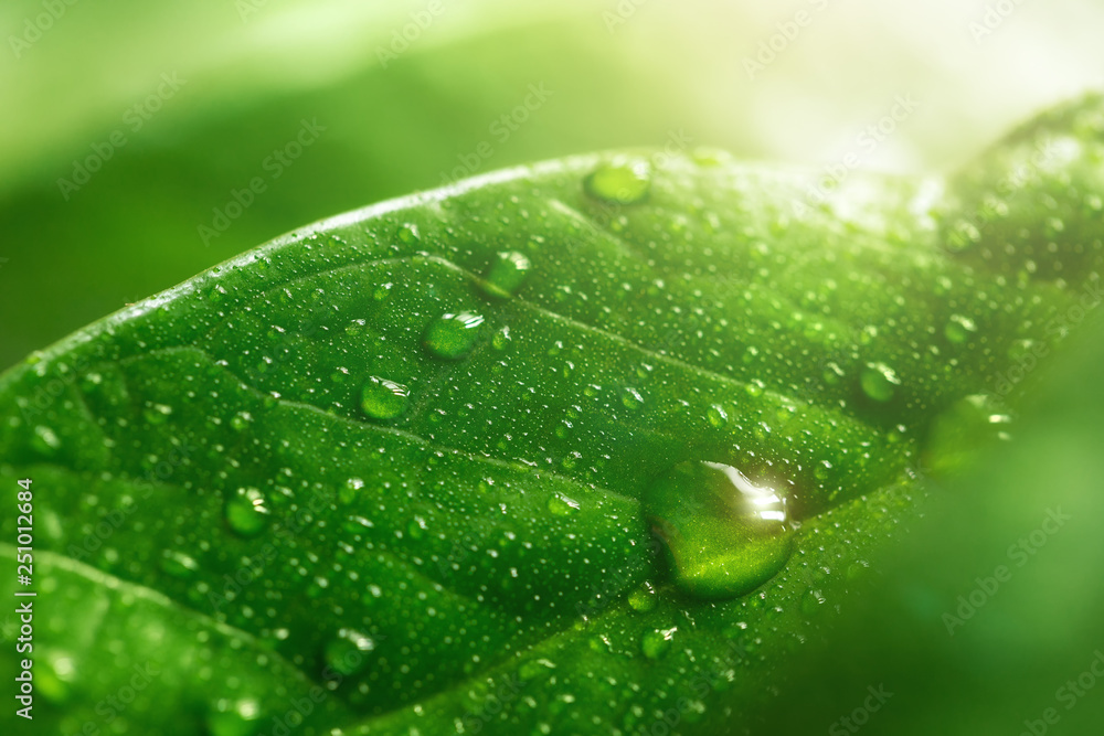 Fototapety, obrazy: Macro large dew or raindrops on a green leaf, close-up. Summer forest in morning glow at sun day