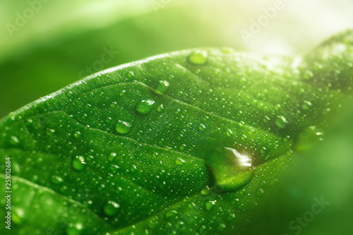 Poster Nature Macro large dew or raindrops on a green leaf, close-up. Summer forest in morning glow at sun day