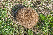 European Hedgehog Rolls Into A...
