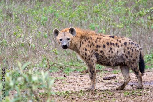Tablou Canvas hyena in Kenya