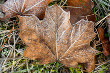 Maple Leaves Covered With Hoar...