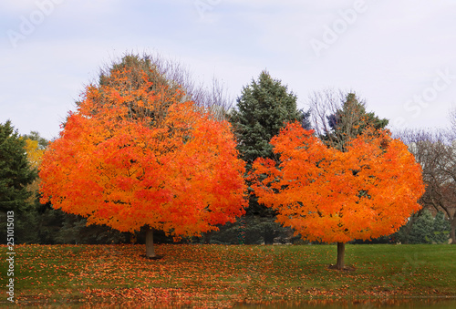 flaming autumn trees