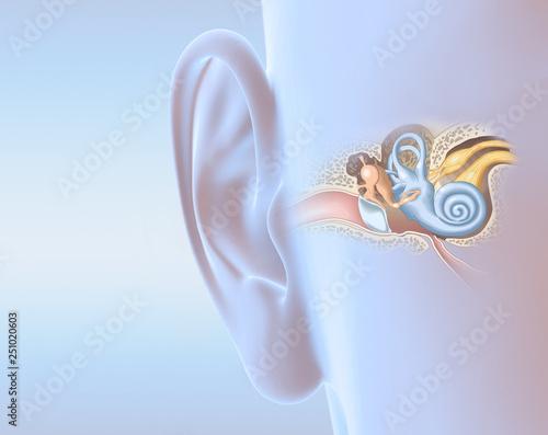 Human ear anatomy, medically 3D illustration Wall mural