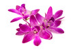 pink rock orchid