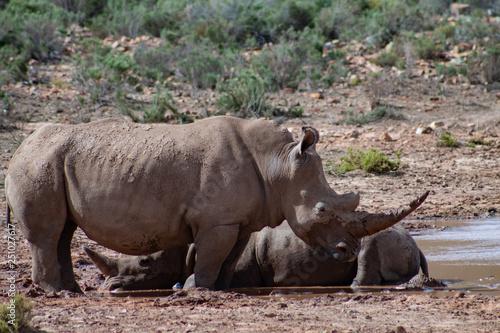 Aluminium Prints Rhino White rhinos in private reserve in South Africa