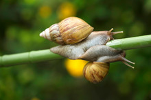 Close Up Of Snails On Plant