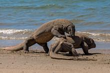 Two Komodo Dragons Fighting On...