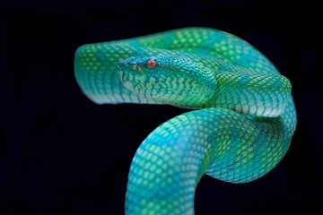 Close up of pit viper snake