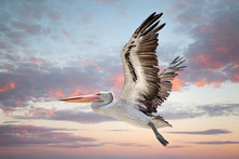 Australian Pelican Flying In S...