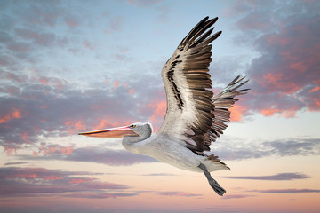 Australian pelican flying i...