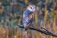 Barn Owl Sitting On A Branch, British Columbia, Canada