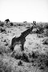 żyrafa w czerni i bieli