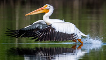 White Pelicans On The Yakima R...