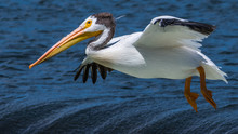 White Pelicans On The Yakima River Near Pasco Washington
