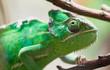 Green chameleon detail
