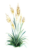 The Flowering Stems Of The Reeds Of The Reed Grow Out Of Lush Greenery. Hand Drawn Watercolor Illustration.